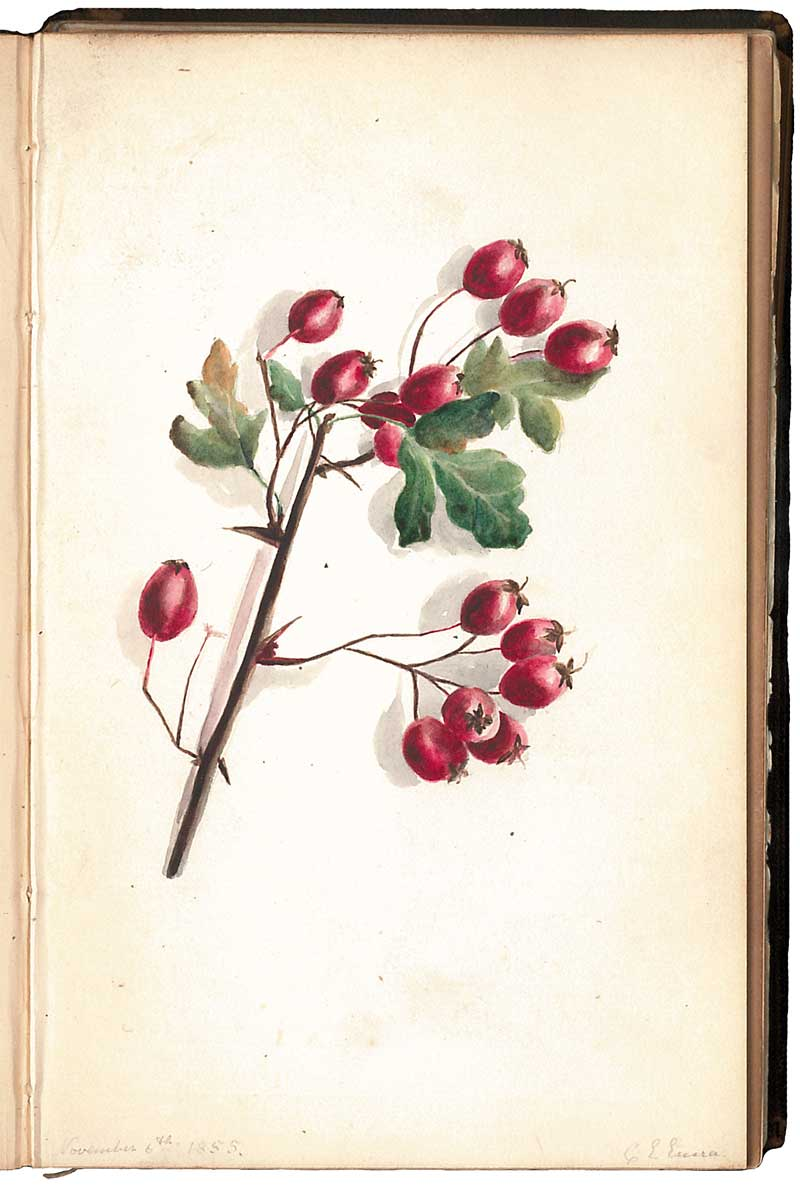 A drawing of festive berries